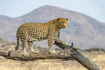 Leopard in Dusternbrook Cheetah Manor of Namibia