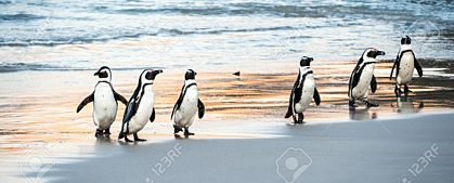 Penguins Walk Out of The Ocean to The Sandy Beach Wallpaper