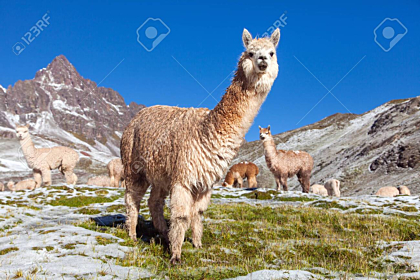 Group of Lamas on Pastureland Wallpaper