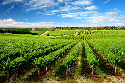 Vineyard in One Tree Hill, South Australia
