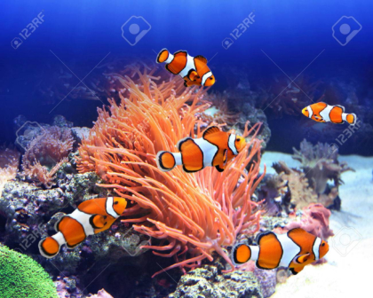 Sea anemone and clown fish in ocean wallpaper