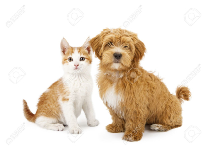 Havanese puppy and an orange tabby kitten