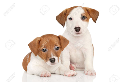 Jack Russell little puppies