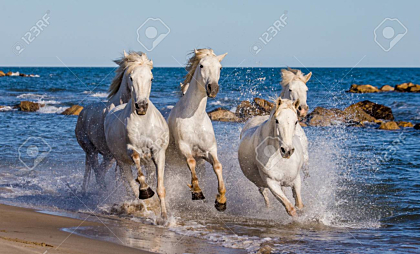 White Camargue Horses galloping along the sea beach