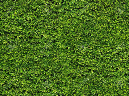 Natural fresh green leaf wall