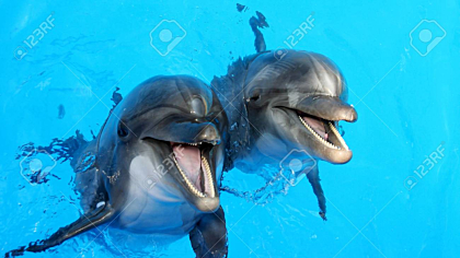 Dolphins swimming in the clear blue water