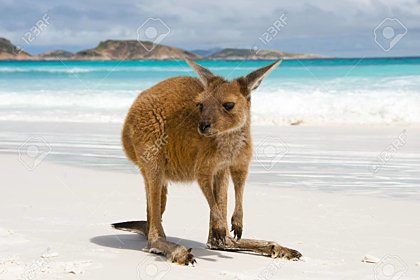 Kangaroo on Lucky Bay