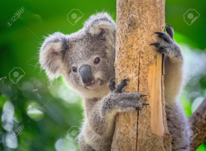 Koala is on the tree